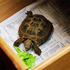 Clyde the tortoise gif Elementary Tv Show, Moon Taxi, Sherlock Holmes Elementary, Jonny Lee Miller, Cbs All Access, Cute Turtles, How I Met Your Mother, Good Wife, New Beginnings