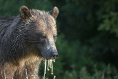 Yellowstone- grizzlies- I hope I get to see my love- Grizzly Bears!