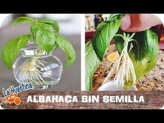 cocinillas.elespanol.com 2015 06 como-cultivar-albahaca-en-macetas