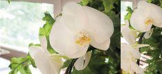 Como fazer com que a orquídea floresça de novo?