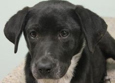 2 / 14    Petango.com – Meet Carrie, a 6 months 14 days Retriever, Labrador / Mix available for adoption in MANY, LA Contact Information Address  520 McDonald Drive , Unit, MANY, LA, 71449  Phone  (318) 256-2275  Website  http://www.sabinehumanesociety .com  Email  sabinehumane@cp-tel.net