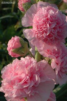 Pink Hollyhock ~ Alcea rosea