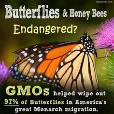 gmo-roundup-bt-toxin-are-destroying-our-health-killing-birds-bees-lady-bug-butterflies