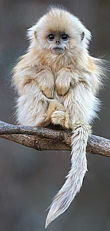 baby snub-nosed monkey from china - s... reminds me of someone