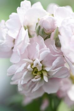 Matthiola incana, Traditional Field Grown Column Stock, Appleblossom Seeds from Chiltern Seeds - Chiltern Seeds Secure Online Seed Catalogue and Shop Seed Catalogs, Types Of Soil, Cut Flowers, Compost, Indoor Plants, Color Change, Seeds, Delicate, Bloom