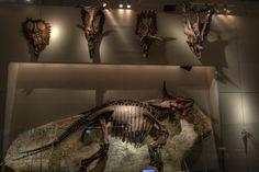 "Centrosaurus, Pachyrhinosaurus, Anchiceratops, Chasmosaurus, Protoceratops skulls - Triceratops horridus ""Raymond"" skeleton, National Science Museum, Tokyo, Japan."