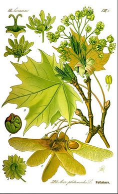 Illustration Acer platanoides