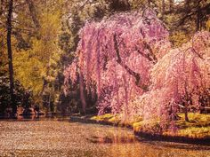 New York City - Cherry Blossoms and Petals -... | NY Through the Lens - New York City Photography