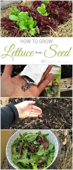This step-by-step guide for planting lettuce seeds shows you exactly how to grow lettuce from seed. Includes tips for growing and harvesting lettuce too. When To Plant Lettuce, How To Harvest Lettuce, Growing Lettuce, Growing Carrots, Growing Vegetables, How To Grow Lettuce, Grow Lettuce Indoors, Gardening For Beginners, Gardening Tips