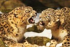 El Leopardo Caracteristicas Donde Viven Que Comen Especies