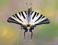 "500px / Photo ""Scarce swallowtail"" by Fabio Giarrizzo"