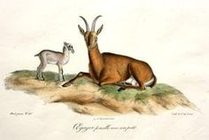 """Egagre femelle avec son petit   Egagre femelle avec son petit Frederic Cuvier (1769-1832) & Geoffroy Saint-Hilaire (1772-1844) Histoire Naturelle des Mammiferes, avec les figures originales. Paris: 1824-42 This splendid lithograph of an Egagre, a wild species of goat inhabiting Europe, Central Asia and the middle east and thought to be the descendant of the domestic goat, with her young with original hand coloring, measures 13"""" x 18"""" and is in very good condition. This rare publicati.."""
