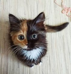 """Meet Yana, the two-faced cat! This fascinating feline has cells from different zygotes, resulting in a unique coloring and """"two-faced"""" appearance. Cute Cats And Kittens, Baby Cats, Kittens Cutest, Funny Kittens, Ragdoll Kittens, Bengal Cats, Baby Kitty, Bengal Tiger, Pretty Cats"""
