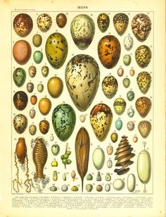 1910s Eggs Antique Print French Color by CarambasVintage on Etsy, $16.00