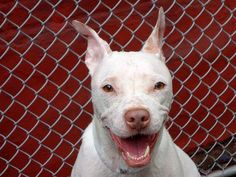 GONE RIP 7/23/13 Manhattan Center  HAILEY - A0971249  FEMALE, WHITE, PIT BULL MIX, 2 yrs, 6 mos She lived in harmony and played with dogs and children, would be very sweet, walk nicely on the leash and know a few commands in English and Spanish. Hailey is a beautiful princess looking for a a new castle but mostly the love of a new master or family. Please help us save her life to night. She is available for adoption TONIGHT through the ACC's public adoption site.