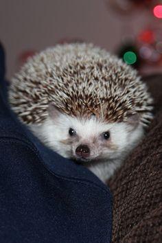 Brutus the hedgehog