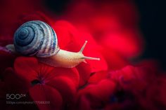 Snail on the red flowers by allavovk. @go4fotos