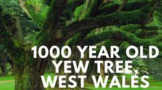 The Shocking Truth About 1000 Year Oldest Tree In The World  West Wales