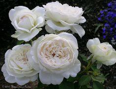 Full size picture of Floribunda Rose 'Bolero' (<i>Rosa</i>)