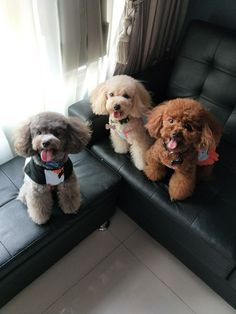 the happiest bunch #poodle