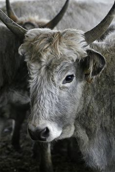Hungarian grey is an ancient breed of domestic beef cattle indigenous to Hungary.