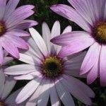 April birth flower- daisy