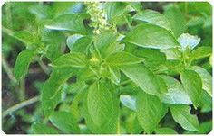 Thailand herbs and... - Search - holy basil