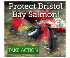 Protect Bristol Bay Please sign the Petition at Change.org.  Thank you.  Bristol Bay is one of our most pristine national treasures. This vibrant ecosystem is home to five salmon and trout species, which support over 14,000 fishing and tourism jobs from Alaska to Washington State.
