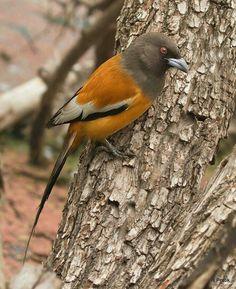 The Rufous Treepie  (Dendrocitta vagabunda) - Photo by H. Pratik