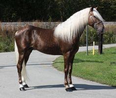 Mountain Horse   Stallion Rocky Mountain Horse