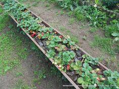 Fresas - http://sensacionesgastronomicas.blogspot.com.es/2014/12/huerto-ecologico-2014-parades-en-crestall.html