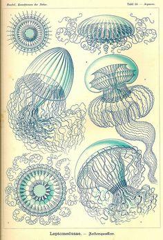 "36   Aequorea - Bioluminescent hydrozoan jellyfish, or hydromedusa (""crystal jelly""). {Kingdom: Animalia. Subkingdom: Eumetazoa. Phylum: Cnidaria. Subphylum: Medusozoa. Class: Hydrozoa. Subclass: Leptolinae. Order: Leptomedusae. Suborder: Conica. Family: Aequoreidae. Genus: Aequorea.}"