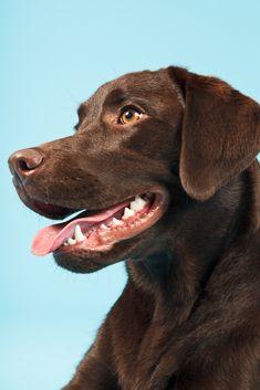 Close-up portrait of brown labrador retriever isolated on light blue background Labrador Chocolate, Chocolate Lab Puppies, Cute Dogs And Puppies, I Love Dogs, Doggies, Brown Labrador, Labrador Dogs, Labrador Retrievers, Husky Corgi