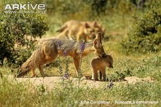 Kit fox photo - Vulpes macrotis - G17858 | ARKive