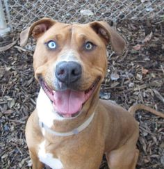 Meet Susie, a Petfinder adoptable Boxer Dog | Hood River, OR | Hard to keep your eyes off this girl, ain't it?!  This is Susie.  And what a story she has!  First,...
