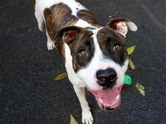 TO BE DESTROYED - 10/19/13 Manhattan Center - P~My name is JOHANA. My Animal ID # is A0981697.  I am a female white and brown white. The shelter thinks I am about 2 YEARS  I came in the shelter as a STRAY on 10/10/2013. Described this little girl: gentle, sweet, beautiful, calm, well-behaved, social, good leash manners, calm & relaxed with helper dog. Johanna is a NO BRAINER - THIS IS A GREAT DOG!! She would fit in almost any family!