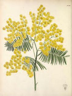 Resultado de imagen de rama mimosa dibujo