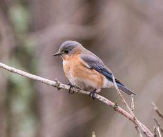 Eastern Bluebird (female): 14 March 2015, Luria Park, Falls Church, VA, 2:00 p.m., 54 degrees, cloudy, slight breeze