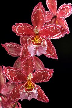 ~~ Oncidopsis Yokara x Oncidium leucochilum Orchid by Nurelias~~ #Orchids
