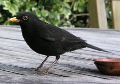 vogels juni – merel - Modeltuinen Zwanenburg