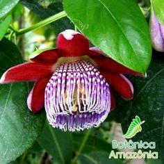Sementes de Passiflora alata