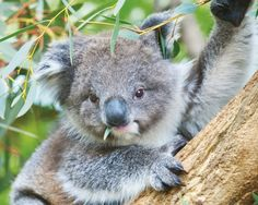 happy koala - australian, animal, marsupial, koala