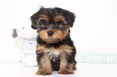 Yorkshire Terrier puppy for sale in NAPLES, FL. ADN-46497 on PuppyFinder.com Gender: Female. Age: 9 Weeks Old