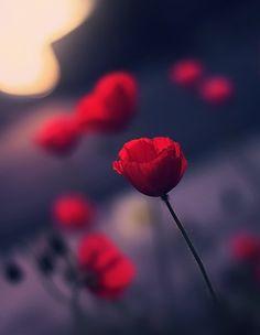 Poppy by Güzel Çiçek