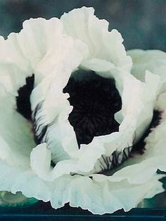 Papaver- Oriental Poppy 'Casino'  Zones 3-9 Can't get enough of these beautiful flowers!