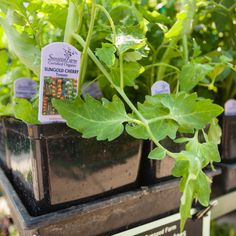 Local, certified organic tomato plants from Sunseed Farms in Acme! Get 'em now at the Co-op garden centers. Big selection!