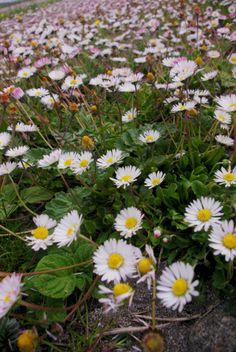 daisies Outer Hebrides, Daisies, Seasons, Flowers, Plants, Pictures, Photos, Margaritas, Bellis Perennis