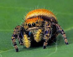 """Apache Jumping Spider"" by Bob Jensen, via 500px."