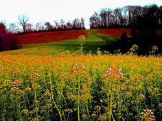 landscape, field, meadow, red, grass
