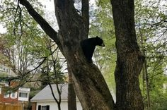 Black bear removed from tree behind Massachusetts home